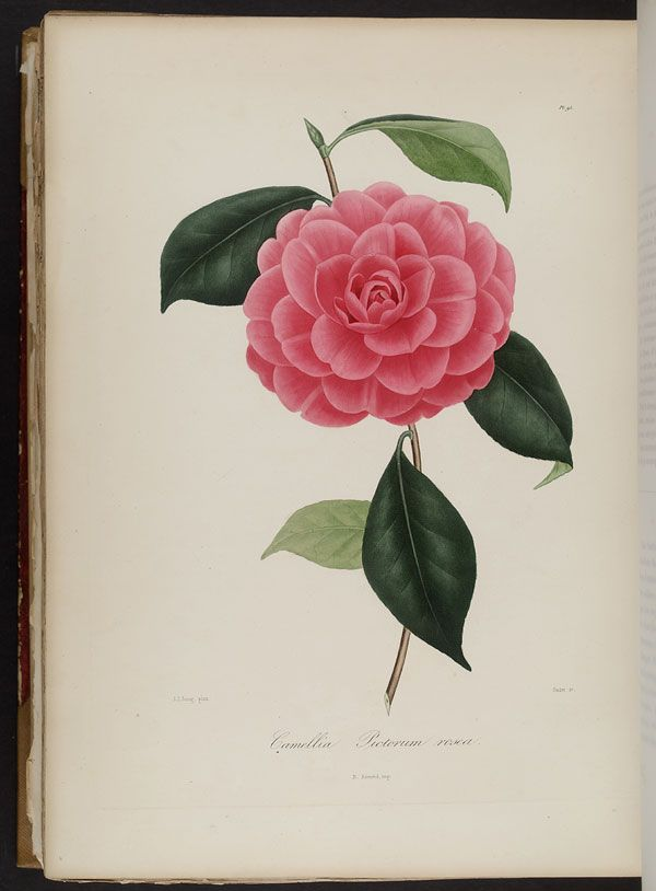Image of Illustration of Camellia Rosa Pictorum