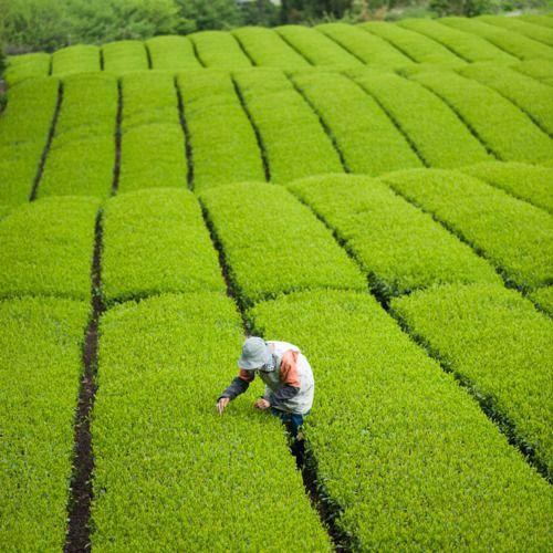 Tea quality checking before the picking day, Shizuoka, Japan