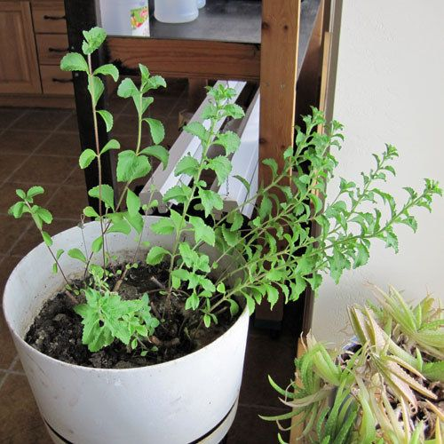 Stevia: Before it was in a Little Packet, it Started as a Plant