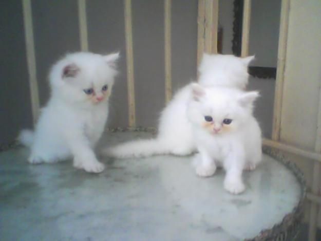 Pure Persian White Kittens for sale - Karachi - Animals - Defence View - persian fluffy white