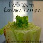 Re-Planting Your Kitchen Scraps: How to Re-Grow Romaine Lettuce