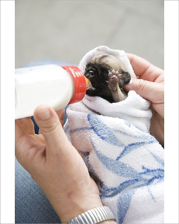 Print Of A Two Week Old Pug Puppy Being Bottle Fed Pug Puppies