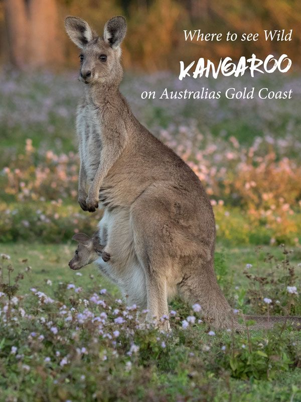 All the info you need to see wild kangaroo on the Gold Coast in Queensland, Australia. via @2aussietravellers