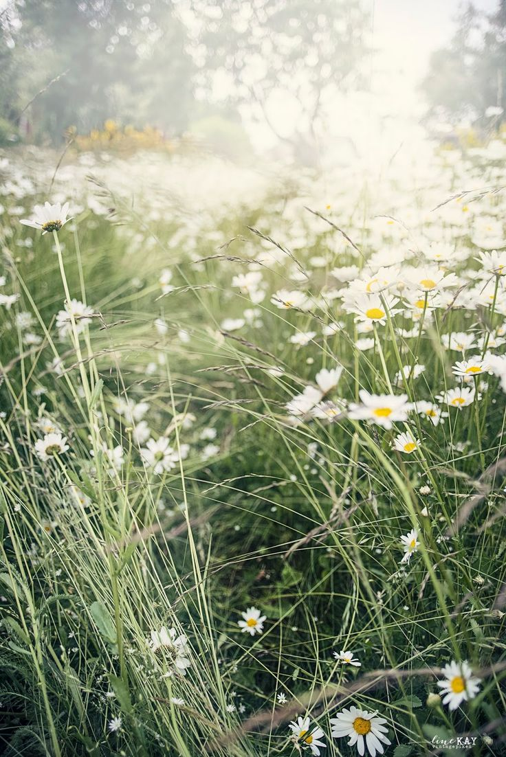 Wild Daisy field
