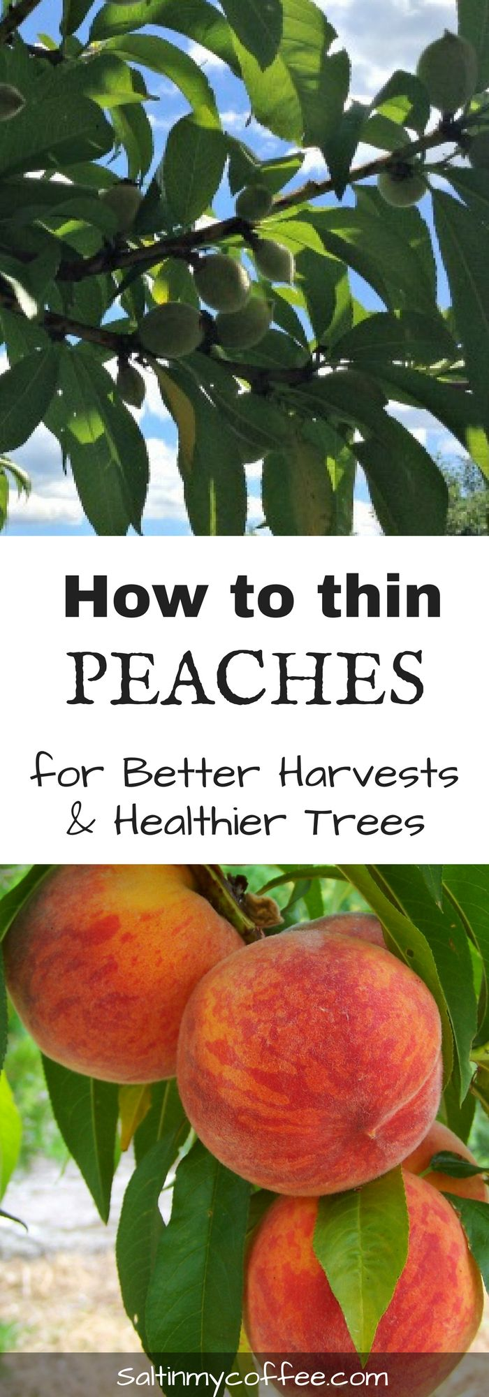 Thinning peaches helps ensure better harvests, and safeguards the health of the fruit tree. Here's how to thin peach trees!