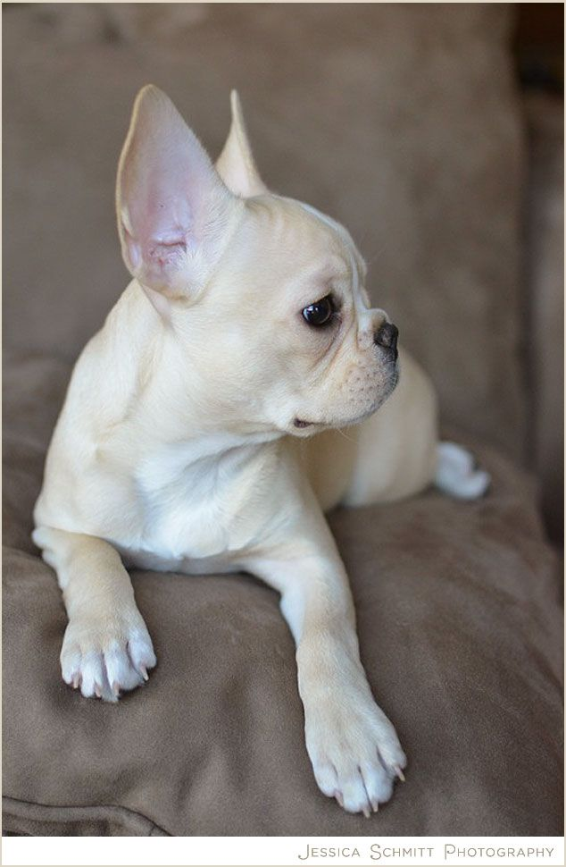 grey fawn french bulldogs for sale - Google Search