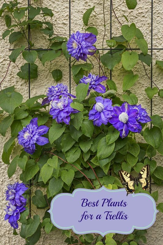Best Plants for a Trellis - Mom Foodie - Blommi