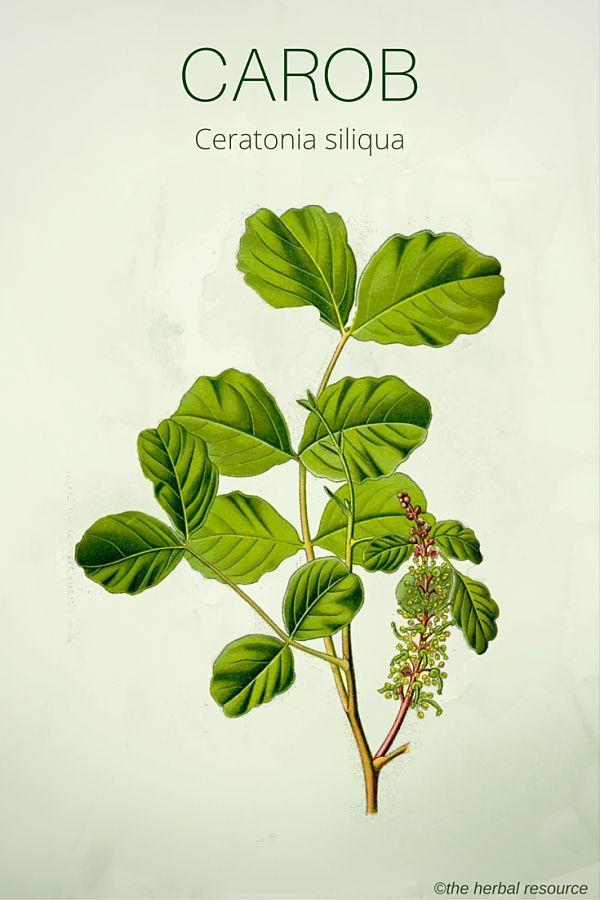 Carob (Ceratonia siliqua)
