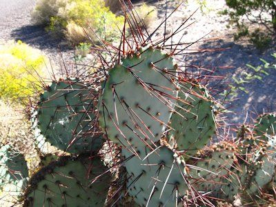 how to get cactus spine