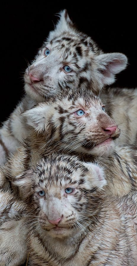 Three white tiger cubs are seen on January 30, 2013 at the Serengeti wildlife park in Hodenhagen, central Germany.