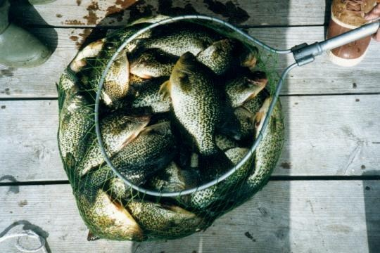 Black Crappie fishing at Camp Narrows Lodge on Rainy Lake in Fort Frances, Ontario