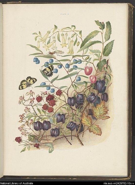 Some of my bush friends in Tasmania : native flowers, berries and insects : drawn from life, illustrated in verse and briefly described by Louisa Anne Meredith