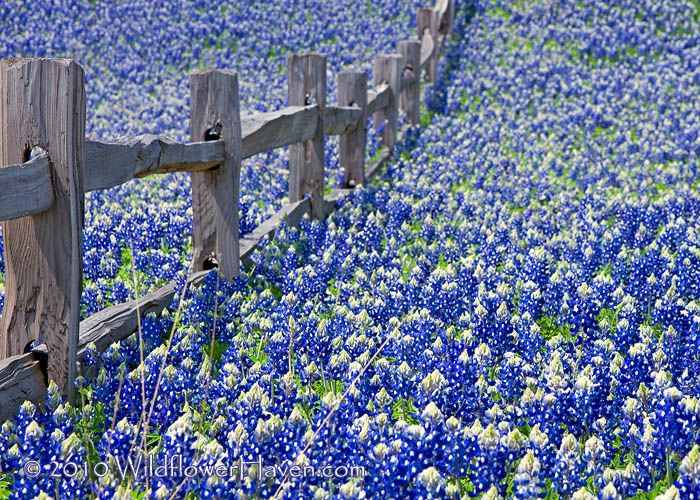Bluebonnets flood a fence along, Texas