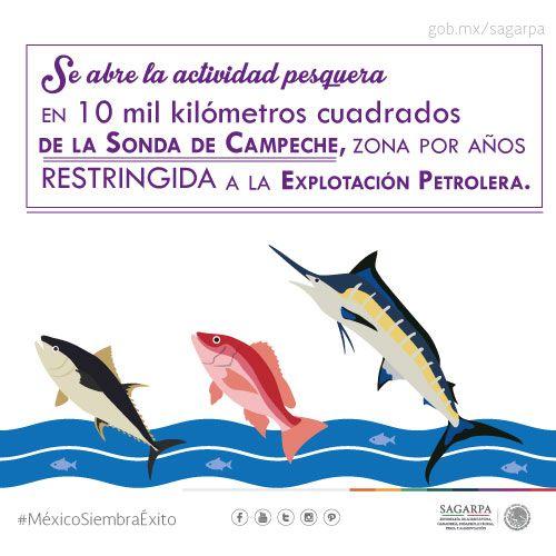 Se abre la actividad pesquera en 10 mil kilómetros cuadrados de la sonda de Campeche, zona por año restringida ala explotación petrolera.SAGARPA SAGARPAMX #MéxicoSiembraÉxito