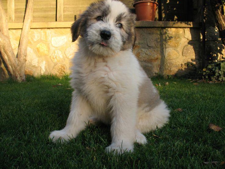 Cute Mioritic dog photo
