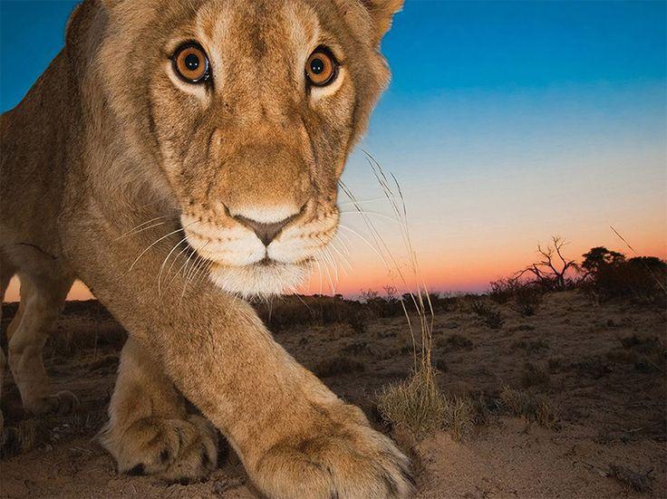 A me gli occhi Fotografia da Hannes Lochner, National Geographic Your Shot  Una trappola fotografica piazzata nei pressi di uno specchio d'acqua nel Kalahari in Sud Africa, cattura lo sguardo di un leone curioso.