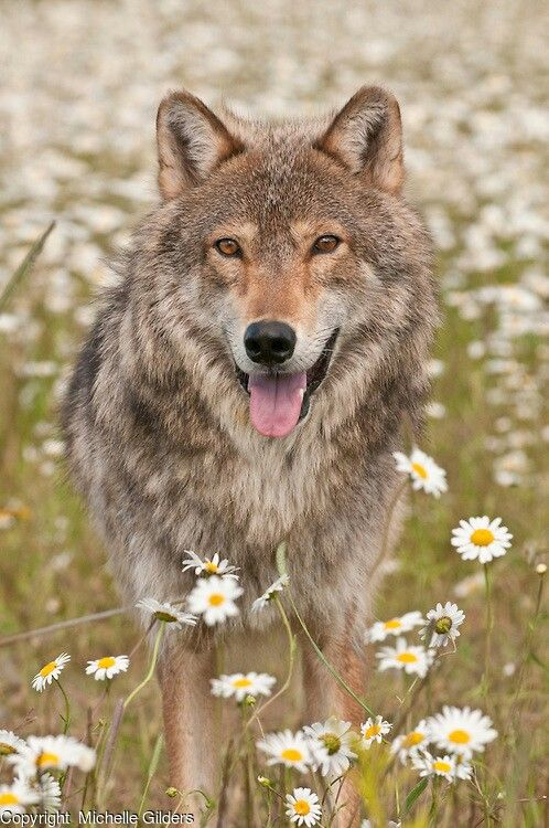 Wolf amongst the wild flowers