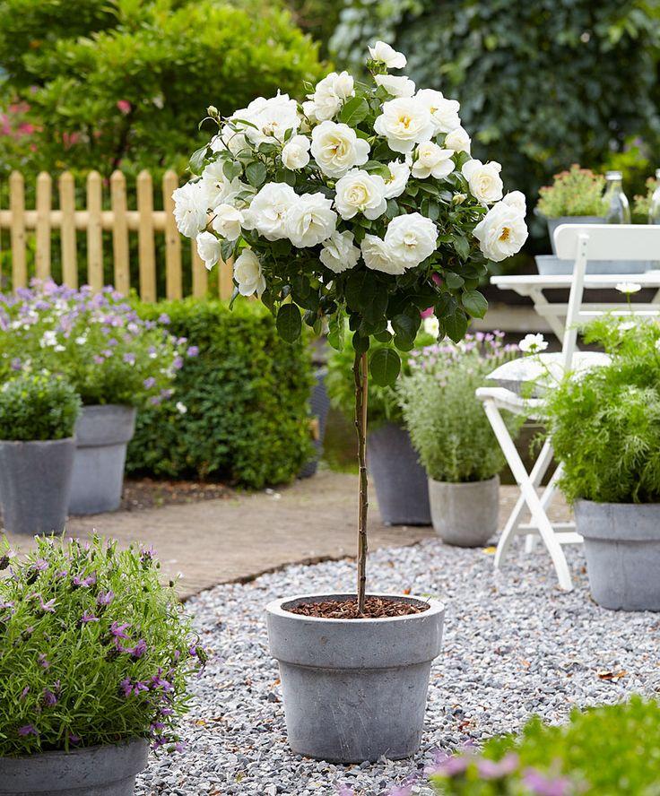 Standard Rose 'Kristall' | Roses from Bakker Spalding Garden Company