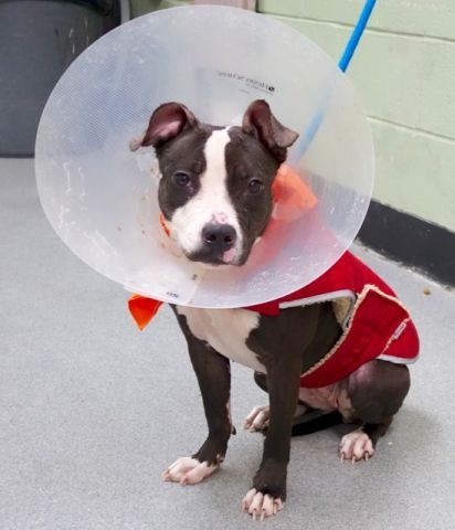 ***BABY ALERT**TO BE KILLED 1/8/17**SANZA #A1100329 *PUBLIC ADOPT** This lil 7 month old angel is on the KILL LIST, yes THEY KILL BABIES!! Just look at this lil beauty, she is so absolutely ADORABLE, so friendly n cuddly!! ONLY 29.2 lbs!!! This baby is getting sick from this shelter, NEEDS OUT ASAP!!! She is scared n sad, in this big scary place, just a baby, NEEDS HOME n LOVE ASAP!! PLZ visit ASAP: nycdogs.urgentpodr.org