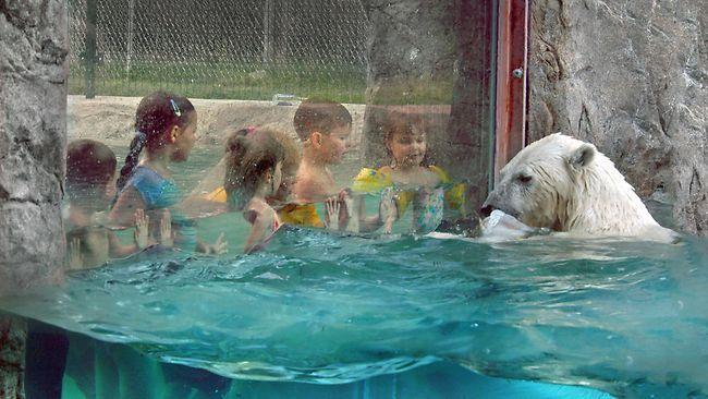 Swimming with polar bears at Cochrane Polar Bear Habitat in Ontario