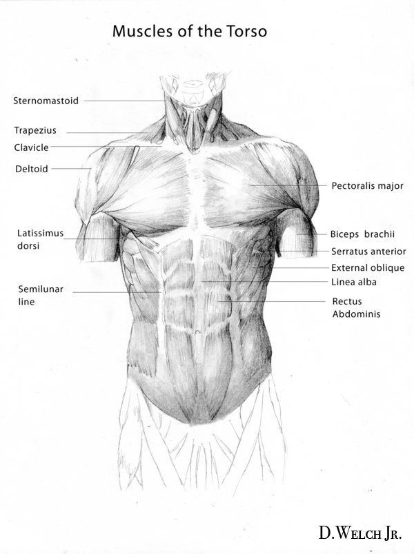 47 besten [3b] Anatomy: Upper Body/Torso/Chest/Breasts Bilder auf ...