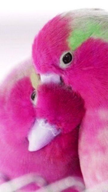 Fuchsia Love Birds