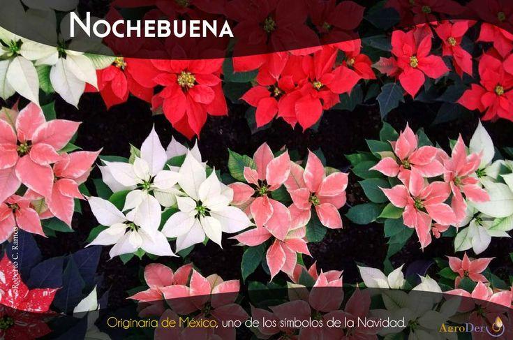 #Nochebuena #OriginariadeMéxico