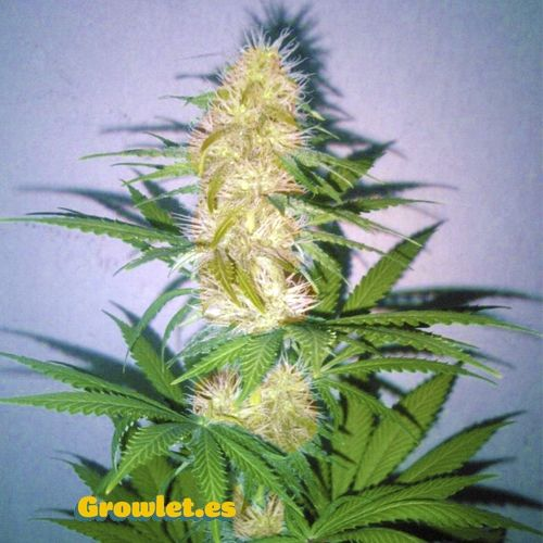Ice Cool semillas feminizadas autoflorecientes (Sweet Seeds)