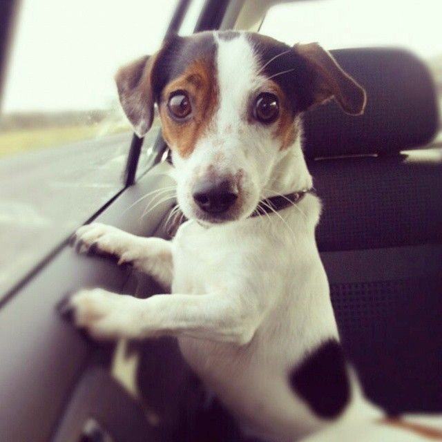 Are we nearly there yet? This photo of Stitch, a Jack Russell, was taken by chance are her Mom pointing her phone over her shoulder to see what her pet pal was up to.