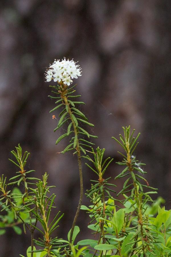 Rhododendron tomentosum, Finland by Heikki Rantala