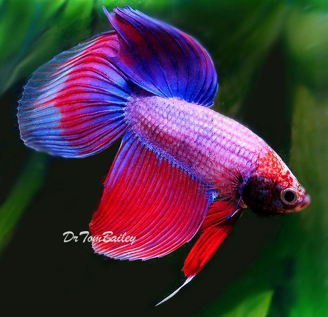 72 best beta fish tattoo images on pinterest beautiful for Petco koi fish