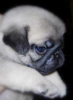 Get a pug puppy called Gary