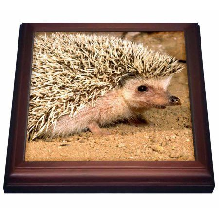 3dRose African Hedgehog wildlife, Native to Africa - NA02 DNO0400 - David Northcott, Trivet with Ceramic Tile, 8 by 8-inch