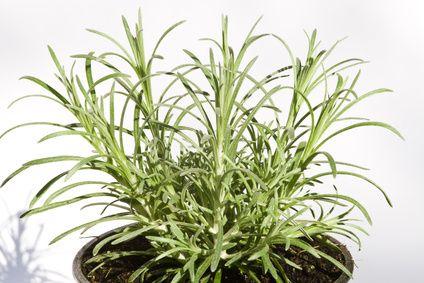 Smil italský (Latinsky: Helichrysum italicum)