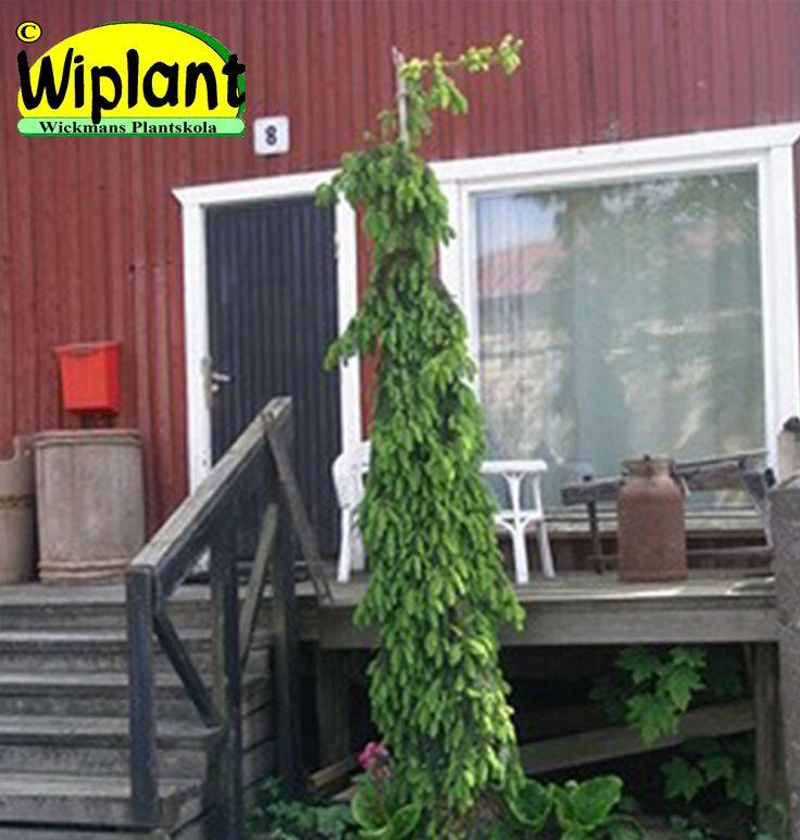 Picea abies 'Inversa', Hänggran. Mycket hängande grenar. Uppseendeväckande. Höjd: 2-5 m. Bredd: 1 m.