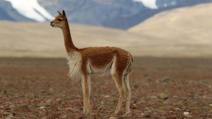 Resultado de imagen para vicuña de norte grande