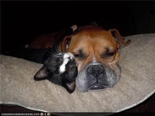 a boxer and its tuxedo kitten nap together