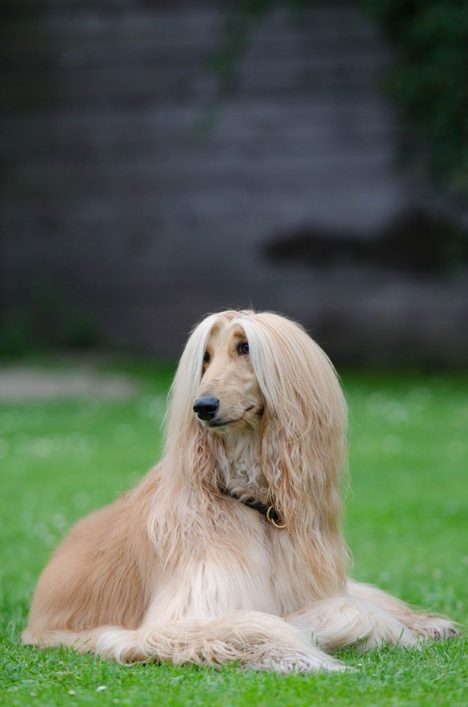Picture Of Hairy Afghan Dog Breed Long Haired Dog Breeds Long Haired Dogs Hound Dog
