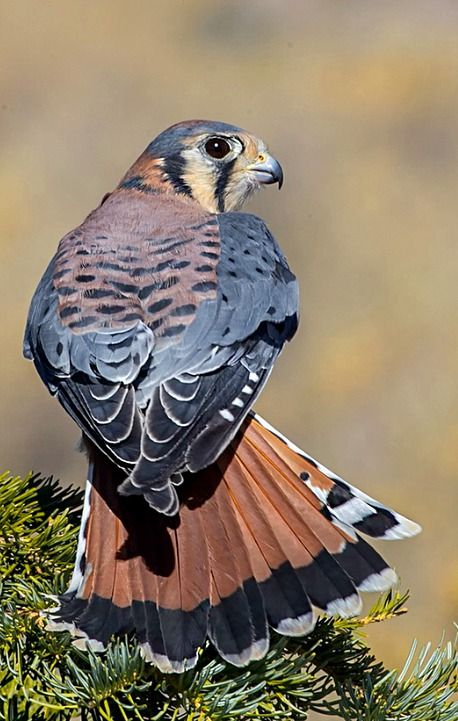 American Kestrel or Sparrow hawk (Falco sparverius). Asmall falcon of the Americas. photo: Jim Frazee.