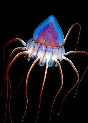 Periphylla periphylla is a deep water jellyfish which lives at depths of up to 2500m