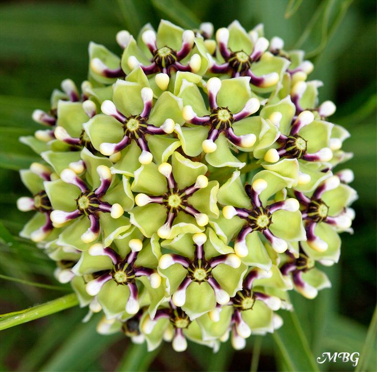 25+ Milkweed Ideas for your Garden- Asclepias asperula is commonly referred to as Antelope horns because of it's horn-shaped seed pods. It is native to the southwest US from California to Texas, which makes it an important milkweed variety for spring returning monarchs across the US. It's a host plant for monarch caterpillars and the unique flowers hold nectar nourishment for adult butterflies. ~☆~