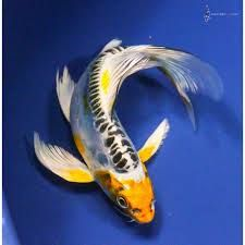 real blue koi fish - Google Search
