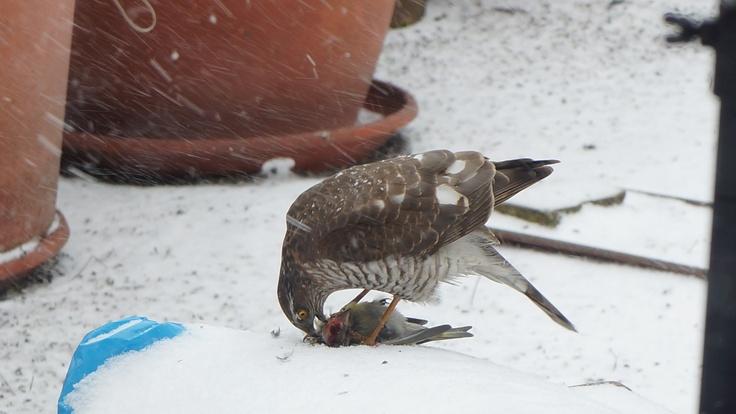 Eurasian Sparrowhawk eating a siskin