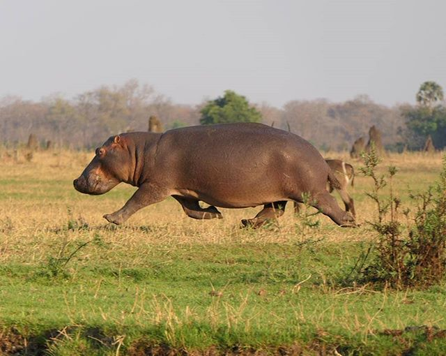 A hippo running not too far from the Shire River. by verakohlhof on  Instagram who commented that this hippo is terrified for…   Malawi,  Traveling by yourself, Lake