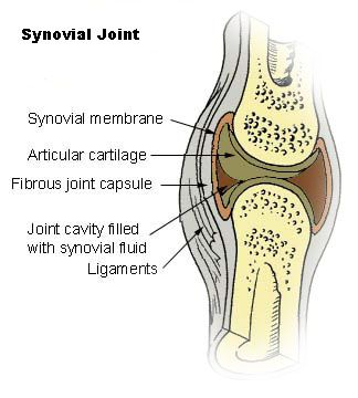 where on the body would I find a synovial joint? - Google Search