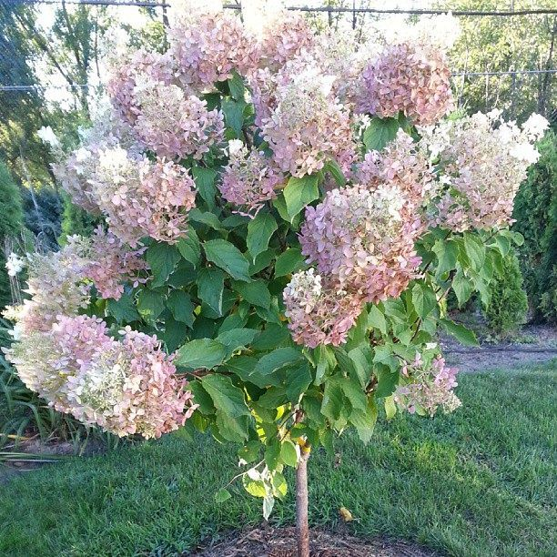 hydrangea paniculata 39 grandiflora 39 in the garden. Black Bedroom Furniture Sets. Home Design Ideas