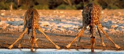 Así beben las jirafas.