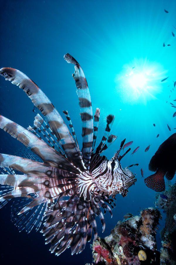 ✮ Volitan Lionfish - Great Shot!