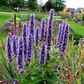 Kłosowiec ogrodowy 'Black Adder' Agastache