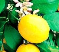 Купить лимонное дерево, сорт Меера